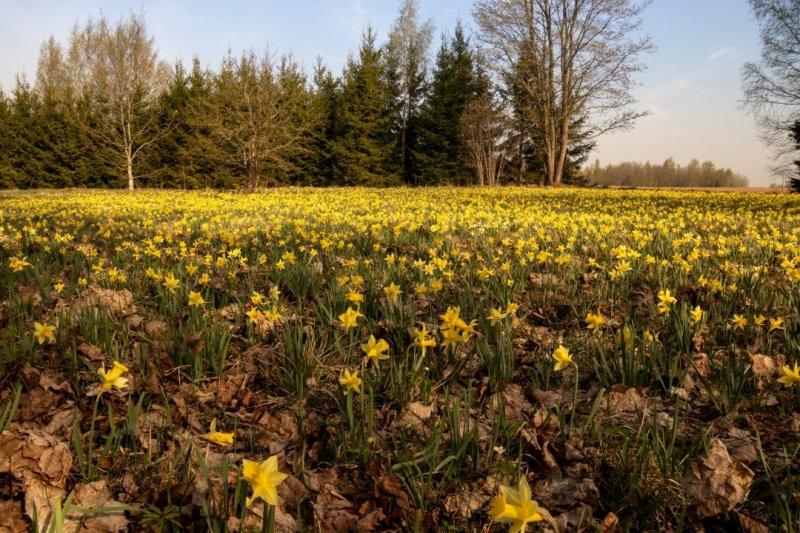 Looduslik kollase nartsissi kasvukoht